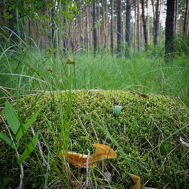 Лесная трава в #красноярка #лес #омск #россия // #wood #omsk #krasnoyarka #russia